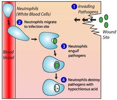 how hypochlorous acid works in our body